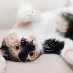 オス猫の適切な去勢の時期は?自宅で出来る3つの見極め方。