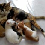 猫の出産後、いつから避妊手術が可能になる?