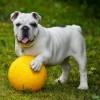 避妊手術で麻酔を注意するべき犬種。短頭種の特徴とは。