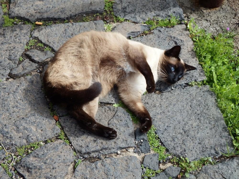スタッドテイルをおこす猫