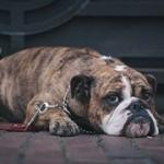 「犬の避妊後は太る」って本当なのか?