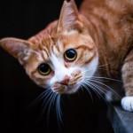【猫の避妊手術】時期はいつ行うのがよいのか?