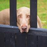 あなたの犬には精巣2つありますか? もしかしたら停留精巣?