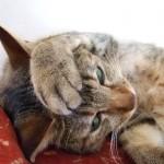 オス猫の去勢手術後で、気をつけるべきこととは?
