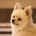 【犬の避妊】メリット、デメリットを考えよう!