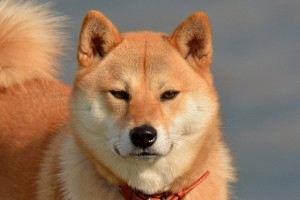 りりしい柴犬