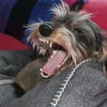 犬が去勢の時期。まだ乳歯が残っているのって大丈夫?