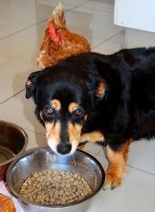 ごはんを食べる犬