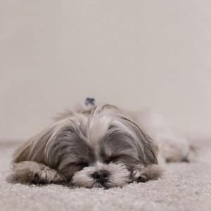 犬の寝る様子