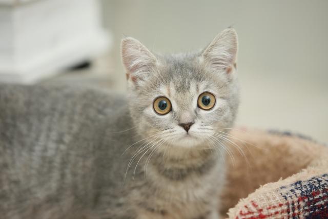 子猫 グレー縞