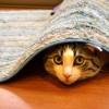 マイクロチップは入っていますか?メス猫が避妊手術を受ける前に確認を。