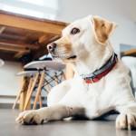 メス犬の避妊手術後、傷口を舐めさせない方法