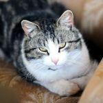 去勢済みのオス猫と尿結石の関係。実際、去勢後は尿結石はできやすいの?