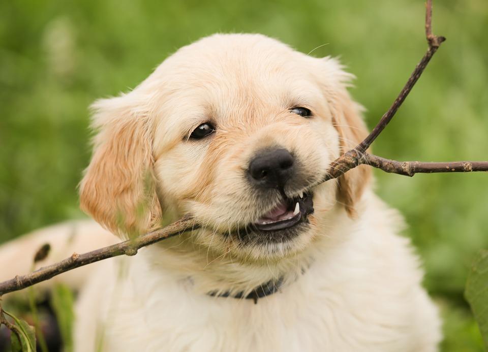 若い犬の歯