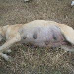 どうしても飼っている犬に避妊手術をさせたくない!!高齢になってから気を付けるべき点。
