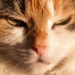 なぜか発情が起こらないオス猫。それでも去勢手術は必要?
