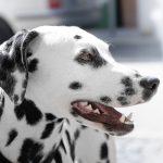 オス犬の去勢手術と一緒にやっておきたい口腔内処置。乳歯と歯石のケア。