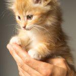 オス猫の去勢手術、早すぎるとどんな問題があるの?