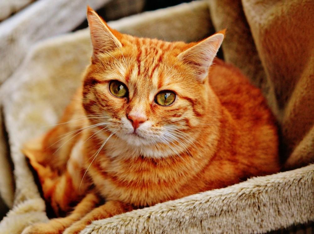 cat-hangover-red-cute-mackerel-tiger-sweet