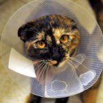 去勢手術の後の猫の様子について