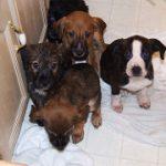 未避妊のメス犬が意図せず妊娠してしまった飼い主様へ。獣医師からの幾つかのアドバイス差し上げます。