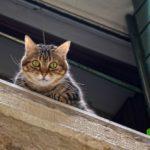 メス猫は避妊手術後どのくらいで外に出して良いの?