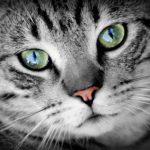 未去勢のオス猫らしい顔の広さは、去勢したら変わる?