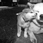 犬の心臓病と去勢手術