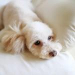 メス犬の避妊手術をお勧めする3つの理由。