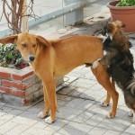 去勢しても犬のマウンティングや攻撃行動がなくならない理由とは。