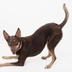 メス犬と暮らすなら知っておきたい、発情・生理による体の変化とは。