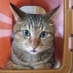 オス猫に多い、去勢後の尿道閉塞。原因は去勢手術にあった?