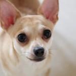 これを使えば手術しないで済む?犬用の避妊薬とは。