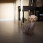 犬の手術後、いつまで安静にしてなくちゃならないの?