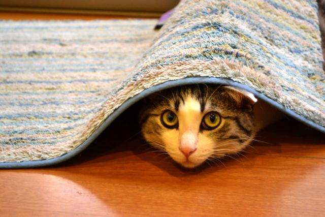 猫 避妊手術 失敗