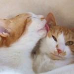 こんな時どうする?オス猫の去勢手術で傷口が開いてしまったら。