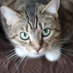 保護したメス猫、避妊してる?してない?の見分け方。