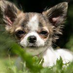 【術後に起こるかもしれないコト】オス犬の去勢手術後に睾丸が腫れている⁉︎