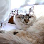 もしかしたらリスクになるかも・・・。メス猫の避妊手術の注意点。