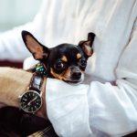 人気犬種の避妊手術。チワワの避妊手術。