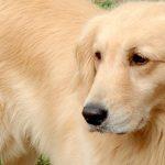 大型犬の避妊手術についてまとめてみました。