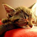 飼い主に協力してほしい。メス猫の避妊手術を安全に行うための4つのポイント