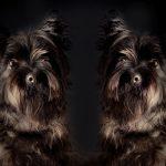 犬の避妊手術際に同居犬に与えるかもしれない影響