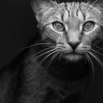 【猫の避妊手術】うちの仔は怖がりかも?病院でパニックになる可能性。